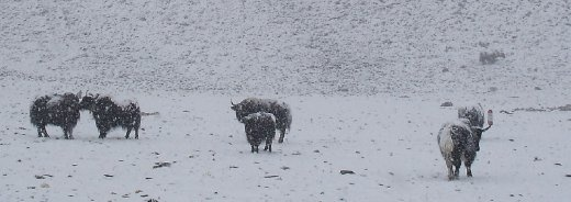 Yaks in blizzard
