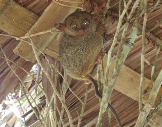 Tarsier - world's smallest primate