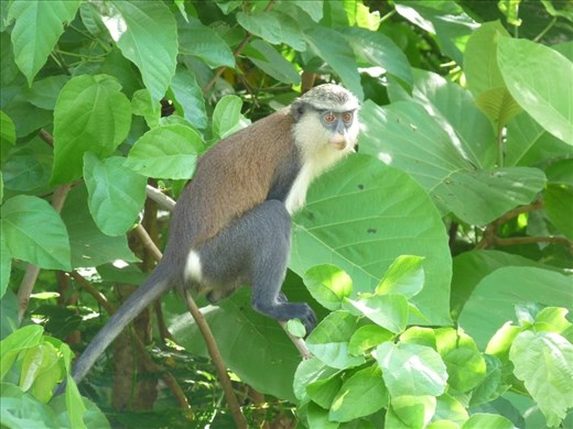 Monkey Business at Tafi Atome, Ghana #2