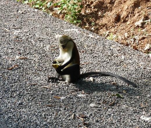 Monkey Business at Tafi Atome, Ghana #4