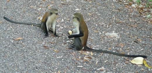 Monkey Business at Tafi Atome, Ghana #5