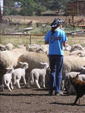 In the yards the children help to draft the lambs off the mob.: by peachgone, Views[95]