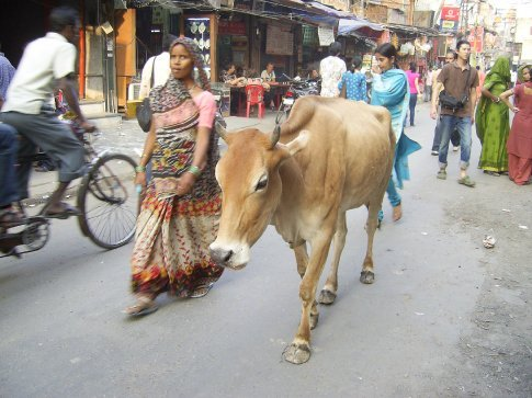 Truly, cows walk the streets