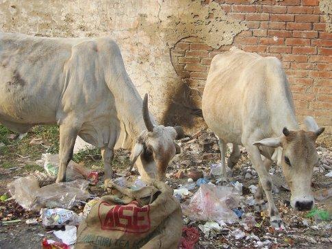 cows having a rummage