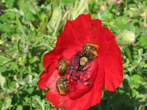 Poppy and bugs - all pics from St Simeon