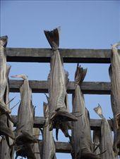 4 Henningsvaer Cod Drying: by peterlee54, Views[340]