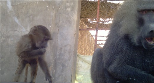 Sneaky Baboons