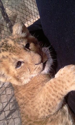 Magnifcent Lion cub