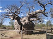 A Boab Tree (rather large isn't it?): by philandholly, Views[753]