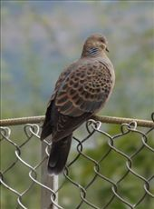 The Pigeon was perching at the back yard kitchen garden. I walked towards it slowly, near enough, placed my camera over the fence and took some shots before it noticed me. I neared further only to see the bird take its wings.: by phuntshok88, Views[136]