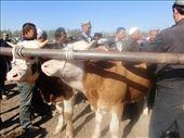 Kasghar cattle market - bulls on sale: by piglet, Views[200]