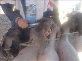 Kashgar cattle market - a haircut : by piglet, Views[197]