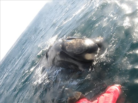 guess who swam above me while i was diving below?  a right WHALE!