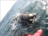 guess who swam above me while i was diving below?  a right WHALE! : by pilgrim192, Views[232]