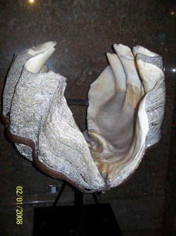 giante clam