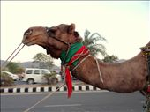 on camel after a long tiring day: by piyushrb, Views[140]