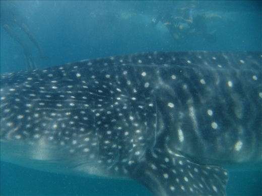 I'm above the whale shark taking the photo, see how big it is!