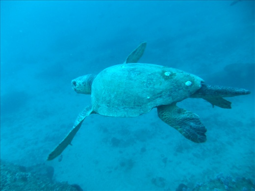 Encountered this turtle on a dive, couldn't tell the species, either a Green or Loggerhead.
