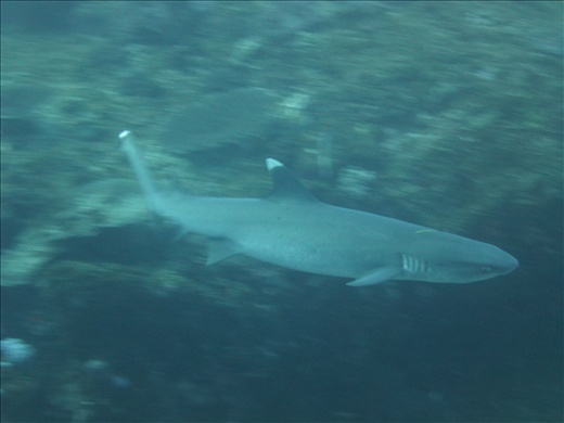 White tip reef shark on my last dive