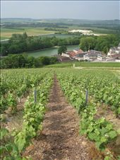 Lovely rows and rows of grapes: by pmok, Views[283]