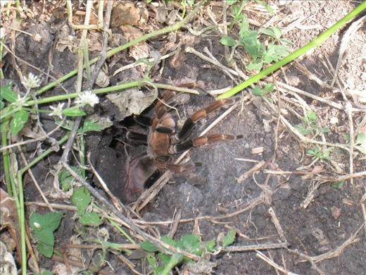 Laura used a twig to lull this tarantula out of her hole. It was actually quite pretty up close but no less scary!