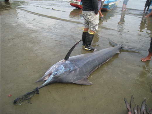 There are all kinds of fish caught (mostly sustainable ones), not just sharks. Marlins are frequently caught and usually quite large like this.