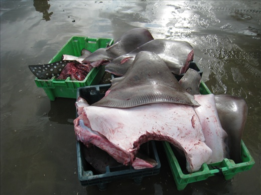 Sharks aren't the only victims, here are two tubs of rays, the head already cut and body  hacked up. Notice the beautiful spotted one in the left tub.