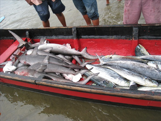Even with bad weather, this boat came back with almost equal catch of tuna and hammerhead sharks; the sharks are barely larger than the tunas!