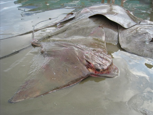 This was a rarely seen ray in Puerto Lopez, don't even know the Spanish name for it.