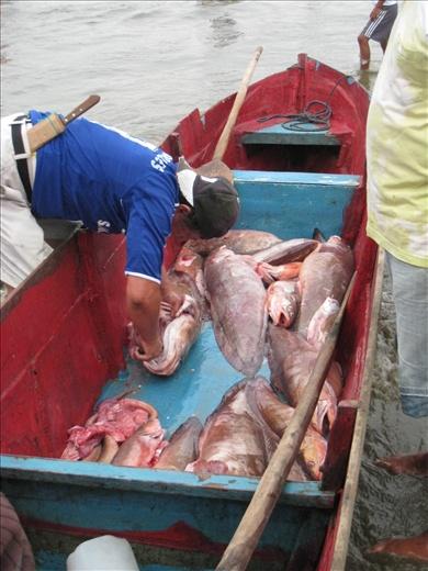 Muchos grande pescados en el mercado hoy y solamante pocos tiburones, muy bueno!