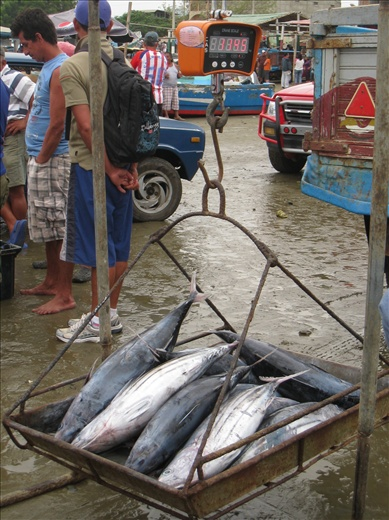 Lots of tunas caught lately, these few alone weighed over 100 lbs. I am torn on the tuna debate; it is a delicious fish but it is being over-fished. Why waste tuna by canning it?  eat it raw, seared, or cooked, no canning though!