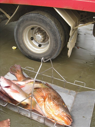 don't know what this fish is but it's so large, it's bigger than the tire on that truck!