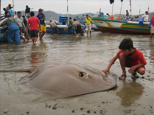 Here's the giant stingray still alive on the beach. A kid was checking it out as it desperately tried to breath.