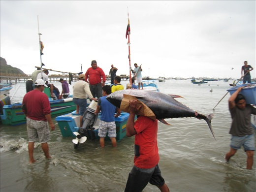 One morning, a boat had dozens of this fish, all equally large. When weighed, some of them were as much as 70 lbs each!