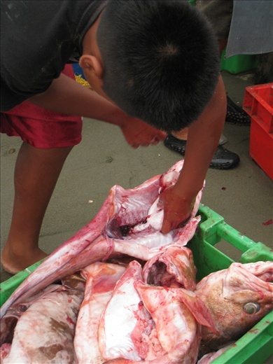 A boy cleaning the fish that has the cartilaginous organ prized by the Chinese to make soup. As many as hundreds of this fish are caught per day.