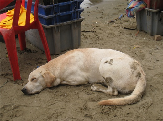 Amidst the frenzy of the fish market, a dog sleeps. There are numerous stray dogs in Puerto Lopez, some in better conditions than others. This one is better for sure.
