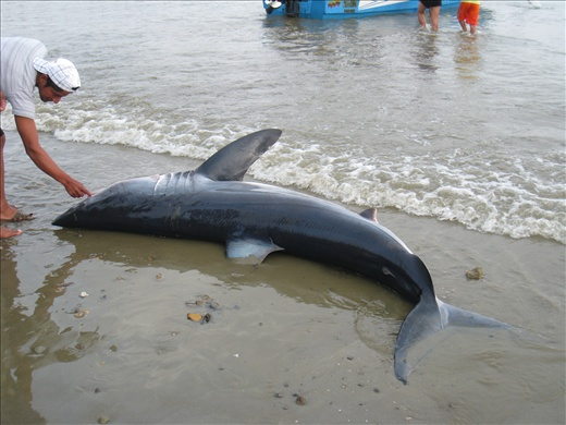 Another large rabon shark caught