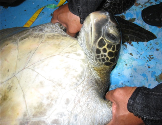 A captured turtle on its back being measured, looks like we're torturing it huh?