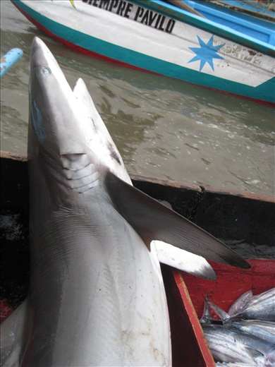 First time I saw this shark at the market, we had to study it for a while before confirming it's a Galapagos shark, distinctive for its black tip fins and tail.