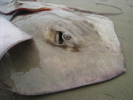 Close-up of a ray's eyes, never realized the