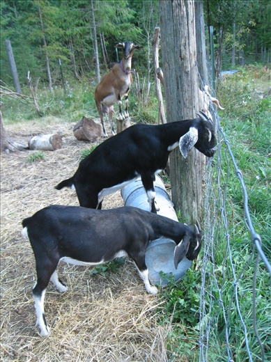 The goats like to jump around and stand on stumps and buckets in the pen, it's exercise.