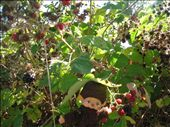 So many wild blackberries on the farm and all over Vancouver Island, they are very difficult to pick, full of thorns.: by pmok, Views[59]