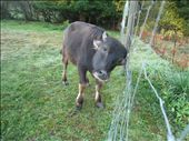 Baryshnikov (great name!) the water buffalo. He's almost 1.5 years old, super cute! He'll get to live for about another year before being slaughtered.: by pmok, Views[151]