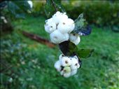 Snow berries, toxic to humans. It got increasingly cold overnight so they had frost in the morning.: by pmok, Views[223]