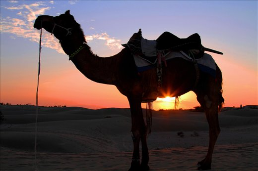 A view of sunset just underneath the belly of a camel on the desert of Rajasthan