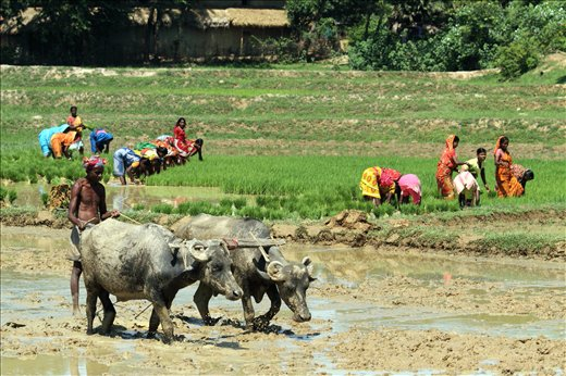 Local people in the vicinity of Tajpur beach,INDIA are busy in farming activity