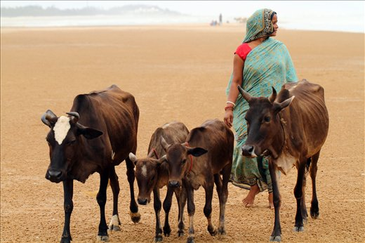 A woman from a nearby village around Tajpur beach returnig home with her cattle.