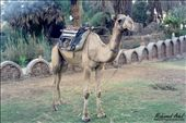 laughing camel: by profmohamedadel, Views[296]