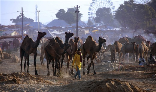 The vision of the Camel Fair ground of Puskar, Rajasthan, India