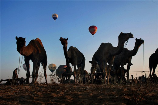 The camels are waiting for to be sold